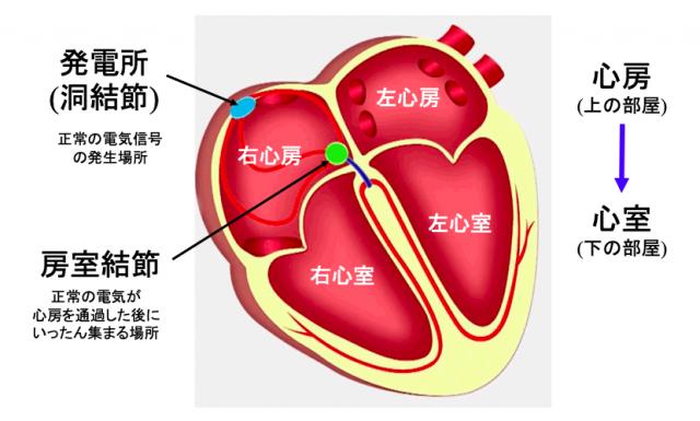 心臓は電気信号が心筋の中を伝わると動きます